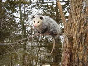 Opossum Trapping | Opossum Removal | Opossum Relocation