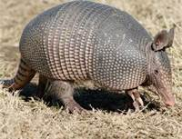 Armadillo Trapping and Removal