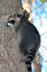 Raccoon Rabies GA