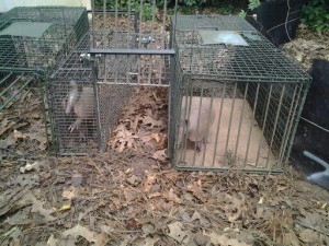 Three Armadillos removed from Fayetteville, GA client.