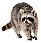 raccoon removal | raccoon trapping | raccoon exclusion