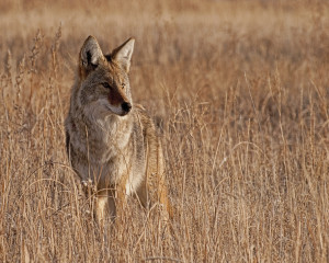 Coyote Trapping | Coyote Removal | Coyote Management