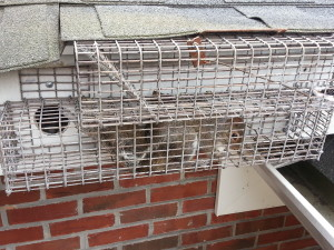 Squirrel Trapping | Squirrel Removal | Squirrel Exclusions