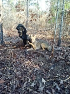 Coyote Trapping   Coyote Removal