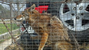 coyote trapping | coyote removal | coyote hunter